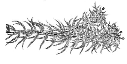 botanical_sphagnum